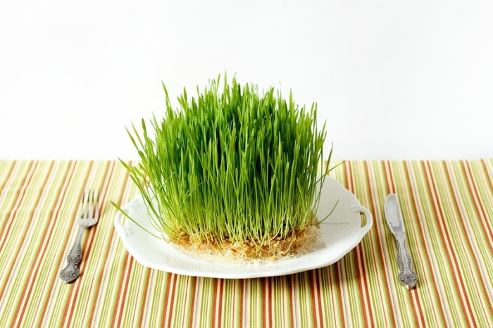 В домашних условиях прорастить пшеницу